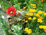 Papaver and California poppies