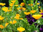 California poppies and violas